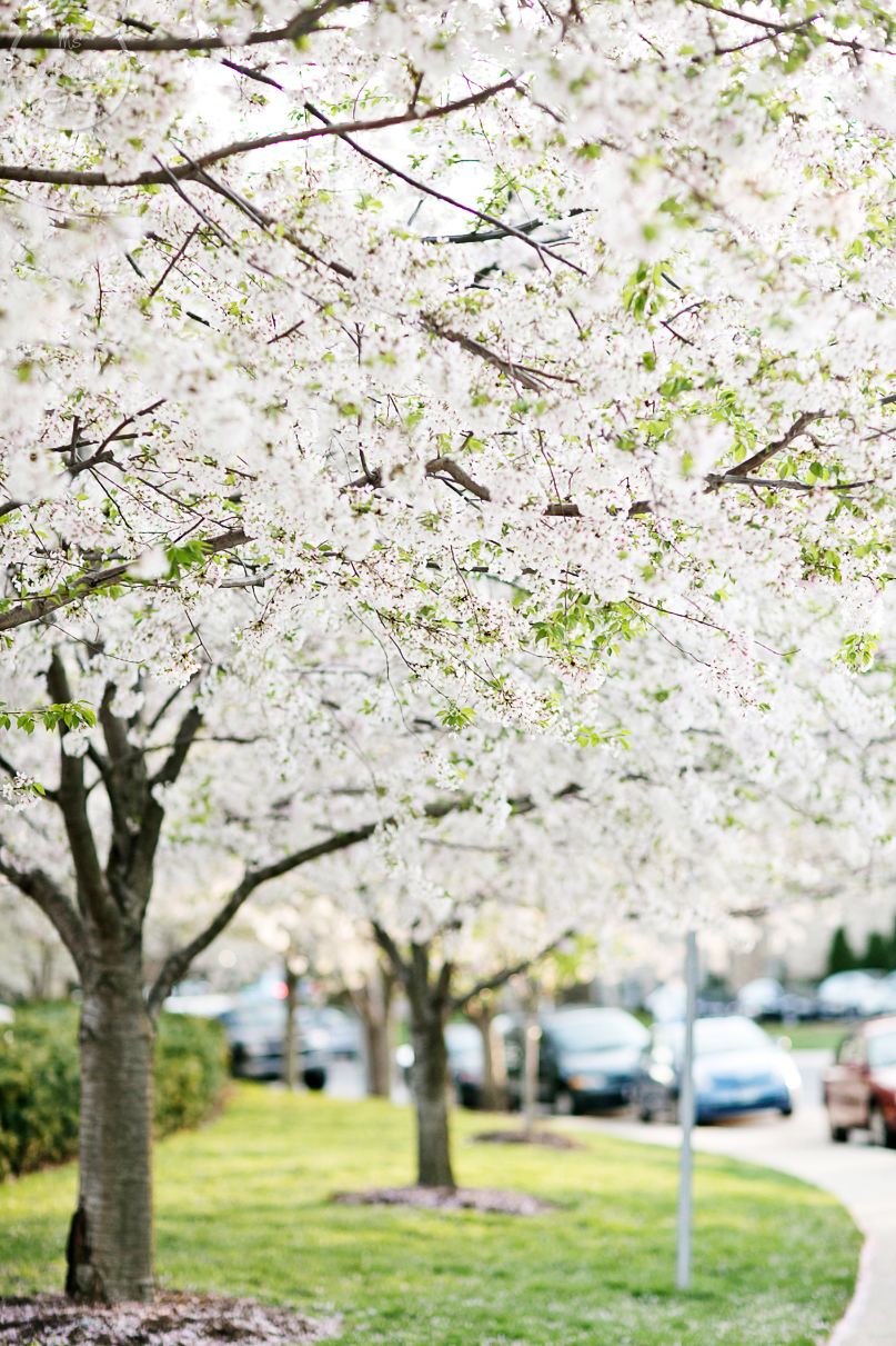 868A9156_cherry_blossoms