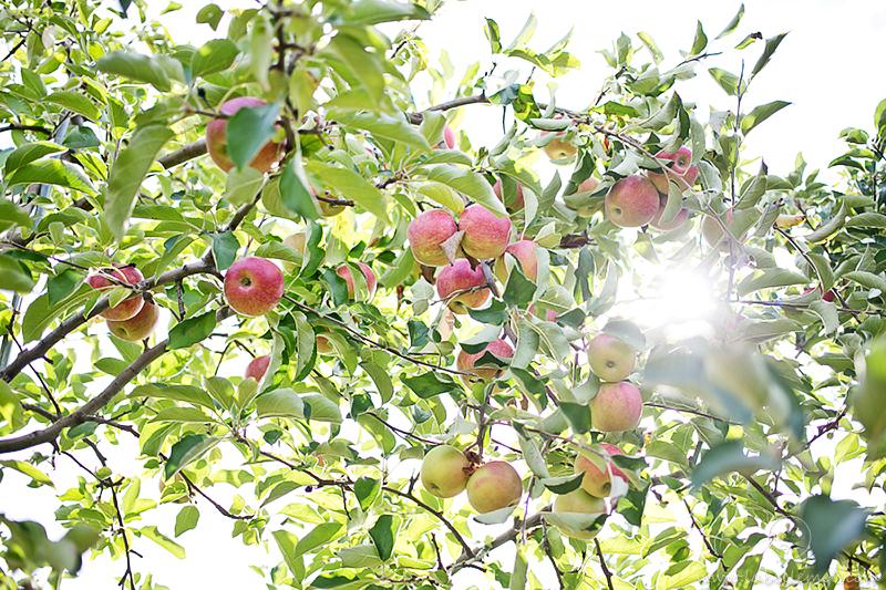 LaBelleMel-Apple-Pickings-2