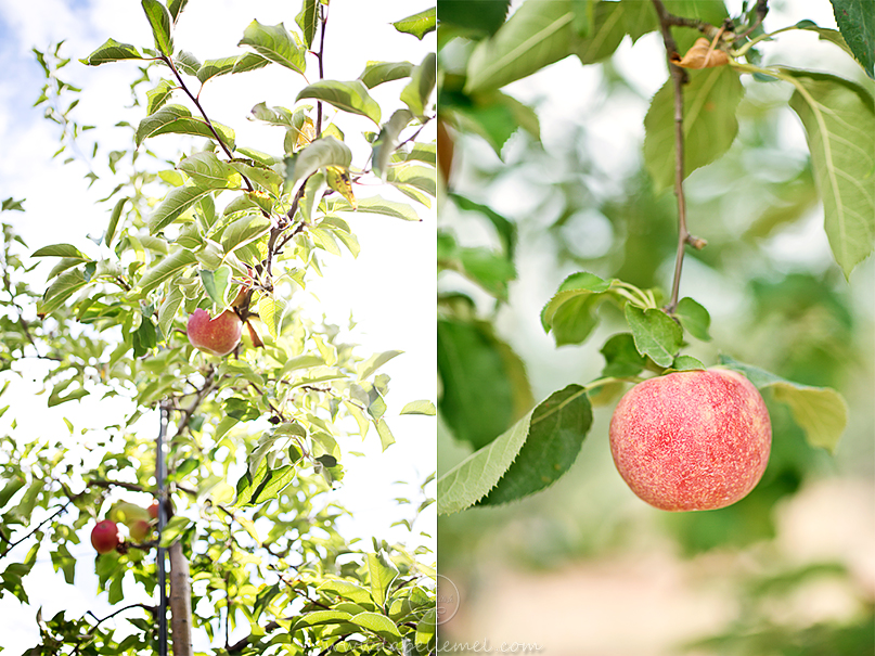 LaBelleMel-Apple-Pickings-4