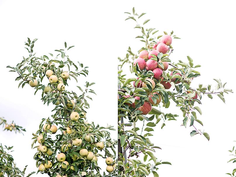LaBelleMel-Apple-Pickings-4_1